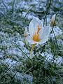 Crocus sieberi Bowles White flower - January 2016.JPG