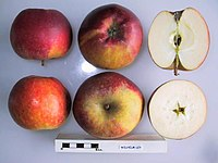 Cross section of Wilhelm Ley, National Fruit Collection (acc. 1981-095).jpg