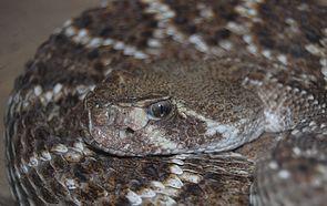 Texas-Klapperschlange (Crotalus atrox), Portrait mit deutlich sichtbarem Grubenorgan zwischen Auge und Nasenloch.