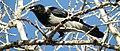 Crow (136080001).jpeg