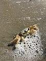 Crustacea zoom 2.jpg