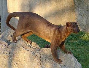 Cryptoprocta spelea - The fossa (Cryptoprocta ferox) is a smaller relative of C. spelea that still survives.