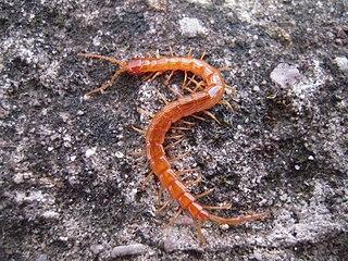 Cryptopidae Family of centipedes
