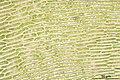 Ctenidium molluscum (e, 144629-474745) 1986.JPG