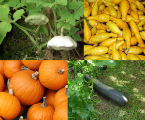 Cucurbita pepo - Assorted cultivars, from top-left, clockwise: pattypan squash, yellow summer squash, a large zucchini (or marrow), and pumpkins