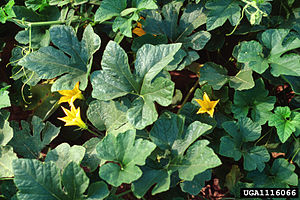 Cucurbita texana - C. texana plant and young blossoms