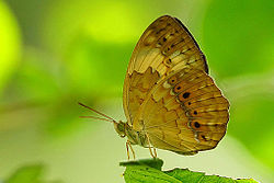 Cupha erymanthis ventral view 20140913.jpg