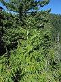 Cupressus nootkatensis at Bear Lake, Siskiyou County, California 3.jpg