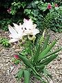Curcuma alismatifolia.jpg
