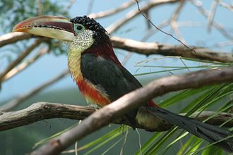 Curl-crested aracari - At Riverbanks Zoo, USA.