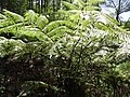 Cyathea nilgiriensis-1-mines-yercaud-salem-India.jpg