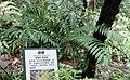 Cyathea spinulosa (Alsophila spinulosa) - Chengdu Botanical Garden - Chengdu, China - DSC03228.JPG