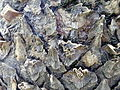 Cycas revoluta (236).JPG