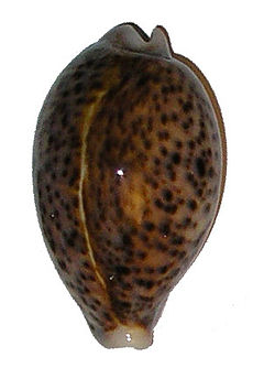 Cypraea-pantherina.jpg