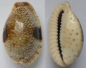 Description de l'image  Cypraea nebrites.jpg.