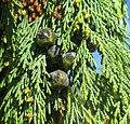 Cypressus nootkatensis pendula (female cones) in Falköping 9645.jpg