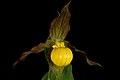 Cypripedium parviflorum var. pubescens (5756169089).jpg