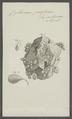 Cysticercus pisiformis - - Print - Iconographia Zoologica - Special Collections University of Amsterdam - UBAINV0274 105 20 0013.tif