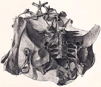 Dacentrurus - Holotype of Dacentrurus armatus, from Owen's 1875 monograph