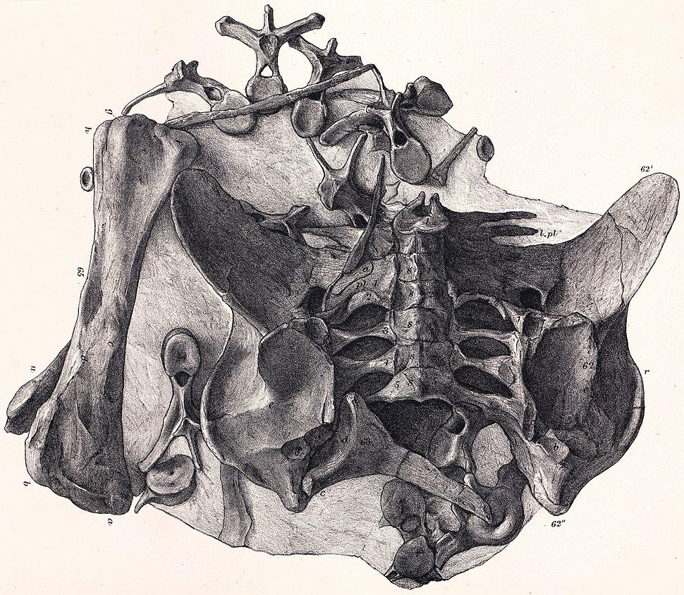 Dacentrurus holotype