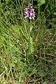 Dactylorhiza sp. (28273216618).jpg