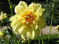 Dahlia Color Spectacle.jpg
