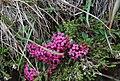 Daphne cneorum - Beigua.jpg