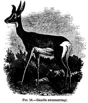 FIG. 18.—Gazella soemmerringi.