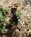 Dasypogon diadema. Asilidae - Flickr - gailhampshire.jpg