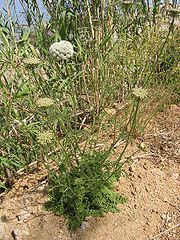 Mrkva obyčajná (Daucus carota)