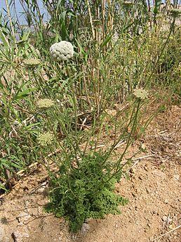 Морква диказагальний вигляд рослини