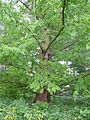 Dawn Redwood Metasequoia glyptostroboides Tree 2448px.jpg