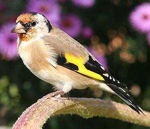 Stieglitz (Carduelis carduelis), Weibchen