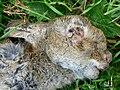Dead rabbit close-up, near Cuckoo's Knob - geograph.org.uk - 1326829.jpg