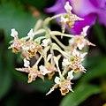 Dendrobium polysema - Internationale Orchideen- und Tillandsienschau Blumengärten Hirschstetten 2016 a.jpg