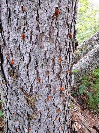 Dendroctonus rufipennis - Spruce beetle pitch tubes on a tree in Tongass National Forest in Alaska