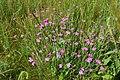 Dianthus deltoides - Divín.jpg