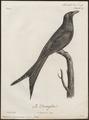 Dicrurus macrocercus - 1796-1808 - Print - Iconographia Zoologica - Special Collections University of Amsterdam - UBA01 IZ16400087.tif
