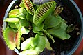 Dionaea muscipula 14zz.jpg