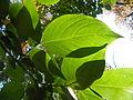Diospyros lotus (7).JPG