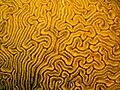 Diplora labyrinthiformis (Grooved Brain Coral) closeup.jpg