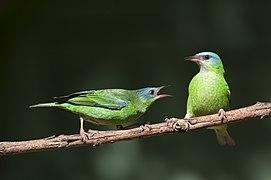 Disputa de galho entre duas fêmeas de Saí-azul - Dacnis cayana.jpg