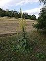 Divizna Velkokveta Verbascum densiflorum Jinonice.jpg