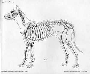 Rib - Skeleton of a dog showing the location of the ribs