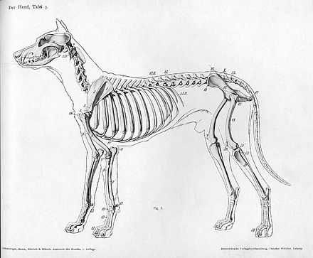 Skeleton of a dog showing the location of the ribs Dog anatomy lateral skeleton view.jpg