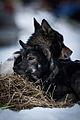 Dogs (8438172957).jpg