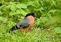 Domherre Eurasian Bullfinch (20324489446).jpg