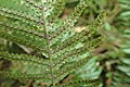 Doodia australis kz7.jpg