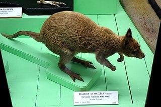 Macleays dorcopsis Species of marsupial