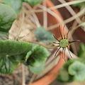 Dorstenia barnimiana-IMG 1602.jpg